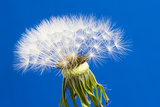 Dandelion Seed Head Photographic Print by Frank Lukasseck