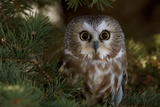 Saw-Whet Owl in Pine Tree Fotografisk tryk af W. Perry Conway