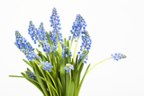 Grape Hyacinth Photographic Print by Frank Lukasseck