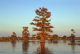 Cypress Trees at Sunset, Bayou, New Orleans, Louisiana, USA Photographic Print by Frank Krahmer