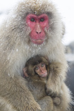 Japanese Macaque with Baby Photographic Print by Frank Lukasseck