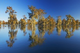 Bald Cypress Swamp (Taxodium Distichum) in Autumn Colours Photographic Print by Frank Krahmer