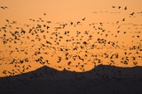 Snow Geese Flying to Roost in Shallow Pond Photographic Print by Momatiuk - Eastcott