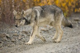 Gray Wolf Pup on Gravel Road Photographic Print by Momatiuk - Eastcott