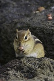 Chipmunk Eating Photographic Print by Gary Carter