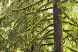 Temperate Rainforest with Moss Covered Spruces Photographic Print by Frank Krahmer
