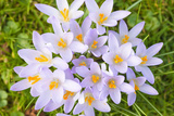 Lilac Crocus Flowers Photographic Print by Frank Lukasseck