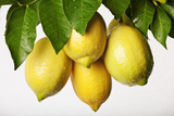 Lemons Hanging from Tree Photographic Print by Martin Harvey