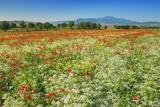 Corn Poppy Field (Papaver Rhoeas) on Resting Field Photographic Print by Frank Krahmer