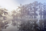 Bald Cypress Swamp (Taxodium Distichum) in Fog Photographic Print by Frank Krahmer