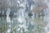 Cypress Trees in Fog, Bayou, New Orleans, Louisiana, USA Photographic Print by Frank Krahmer
