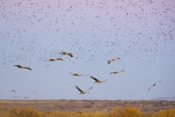 Sandhill Cranes in Flight with Red Winged Blackbirds Photographic Print by Momatiuk - Eastcott