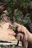 Desert Elephant (Loxodonta Africana) Photographic Print by Sergio Pitamitz