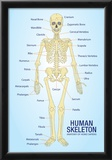 Human Skeleton Anatomy Anatomical Chart Poster Print Photo
