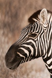 Burchell's Zebra (Equus Burchellii) Photographic Print by Sergio Pitamitz