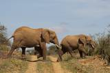 African Elephant Crossing Road in Loisaba Wilderness Conservancy Photographic Print by Sergio Pitamitz