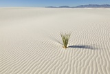 Dune and Yucca Plant in White Sands National Monument Photographic Print by Momatiuk - Eastcott