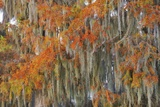 Bald Cypress (Taxodium Distichum) in Autumn Colours Photographic Print by Frank Krahmer