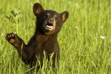 Black Bear Cub in Green Grass Photographic Print by W. Perry Conway