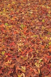 Maple Leaves Carpet Covered in Frost Mill Creek, Washington, USA Photographic Print by Stuart Westmorland