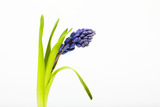 Purple Hyacinth Photographic Print by Frank Lukasseck