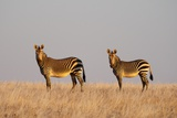 Hartmann's Mountain Zebra (Equus Zebra Hartmannae) Photographic Print by Sergio Pitamitz