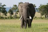 African Elephant (Loxodonta Africana), Masai Mara, Kenya Photographic Print by Sergio Pitamitz