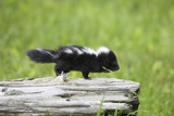 Baby Skunk on Log Photographic Print by W. Perry Conway