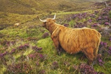 Highland Cattle Calf in Heather Photographic Print by Frank Krahmer