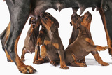 Doberman Pincher Puppies Suckling Photographic Print by Martin Harvey