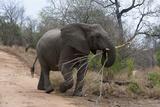 Elephant (Loxodonta Africana), Kapama Game Reserve, South Africa. Photographic Print by Sergio Pitamitz