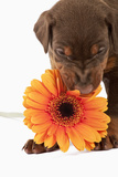 Doberman Pincher Puppy Biting Gerbera Daisy Photographic Print by Martin Harvey
