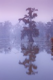 Bald Cypress (Taxodium Distichum) in Fog Photographic Print by Frank Krahmer