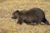 Male Grizzly Bear Walking toward Caribou Carcass Photographic Print by Momatiuk - Eastcott