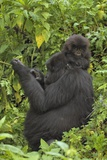 Mountain Gorilla (Gorilla Beringei Beringei) Mother and Cub Photographic Print by Frank Krahmer