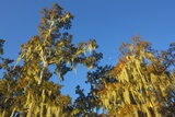 Crown of Cypress Tree with Moss, Bayou, New Orleans, Louisiana, USA Photographic Print by Frank Krahmer