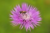 Brownray Knapweed (Centaurea Jacea) with Honey Bee, Bavaria, Germany Photographic Print by Frank Krahmer