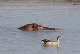Hippopotamus (Hippopotamus Amphybius), Masai Mara, Kenya Photographic Print by Sergio Pitamitz