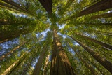Redwood Forest in Humboldt Redwood State Park Photographic Print by Momatiuk - Eastcott
