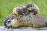 Woodchuck Family Photographic Print by W. Perry Conway