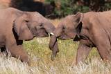 Desert Elephants (Loxodonta Africana) Photographic Print by Sergio Pitamitz