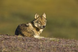 Young Wolf Resting on Tundra in Denali National Park Photographic Print by Momatiuk - Eastcott