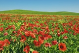 Corn Poppy Field (Papaver Rhoeas) on Resting Field Photographic Print by Frank Krahmer
