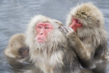 Japanese Macaques in Hot Spring Photographic Print by Frank Lukasseck