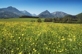 Buttercup Meadow Photographic Print by Frank Krahmer