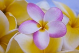 Plumeria Flowers in Bloom Photographic Print by Terry Eggers
