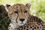 Cheetah (Acynonix Jubatus), Masai Mara, Kenya Photographic Print by Sergio Pitamitz