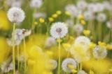 Beautiful Background with Yellow and White Dandelions Lámina fotográfica por Frank Krahmer