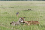 Cheetah (Acynonix Jubatus) with Impala Kill Photographic Print by Sergio Pitamitz