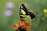 Swallow-Tailed Burtterfly Photographic Print by Gary Carter